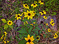 Rudbeckia triloba - Browneyed Susan.jpg