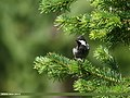Rufous-naped Tit (Periparus rufonuchalis) (26339676429).jpg