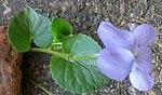 Ruhland, Grenzstr. 3, Hain-Veilchen, Trieb mit Blüten, Frühling, 06.jpg