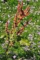Rumex crispus - seedhead, leaves (18875445660).jpg
