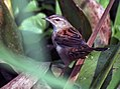 Rusty-rumped Warbler (Locustella certhiola) I IMG 2750.jpg