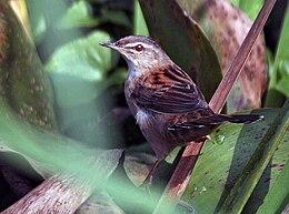 Rusty-rumped Warbler (Locustella certhiola) I IMG 2750