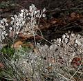 SDC10499 - Veronica spicata ssp. incana.JPG