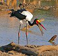 Saddle-billed Stork (Ephippiorhynchus senegalensis) male trying to swallow a Catfish (Clarias gariepinus) (33170265565).jpg