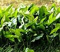 Sagittaria latifolia Willd. (7796868286).jpg