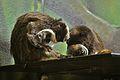 Saguinus imperator at the Denver Zoo-2012 03 12 1003.jpg