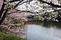 Sakura 2018 6 (252033499).jpeg