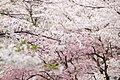 Sakura flower in Maniwa, Okayama Prefecture; April 2012 (07).jpg