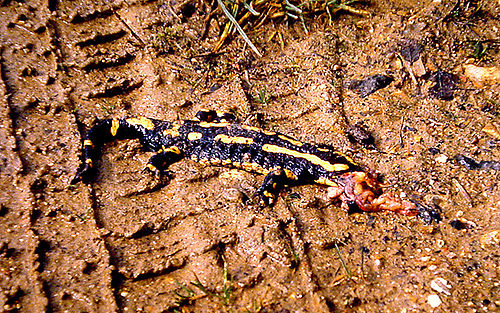 salamandre jaune et noir