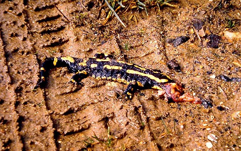 Salamandre Heuringhem Mars 1991
