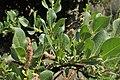 Salix breviserrata kz04.jpg