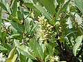 Salix eastwoodiae (24506447542).jpg