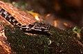 Salmon-bellied Racer (Mastigodryas melanolomus) juvenile (36838345295).jpg