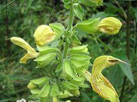 Salvia-glutinosa1