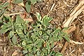 Salvia officinalis Berggarten 2zz.jpg