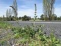 Salvia verbenaca plant3 ST (15501471224).jpg