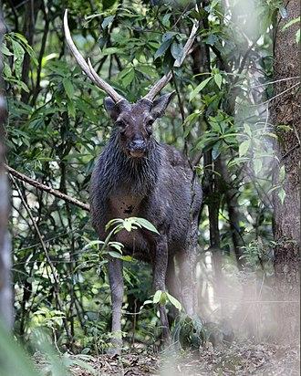 Sambar deer - Image: Sambar Deer (Cervus unicolor)