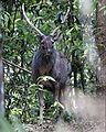 Sambar Deer (Cervus unicolor).jpg
