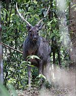 sambar deer | Hunt Forever