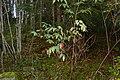 Sambucus racemosa (8016822150).jpg