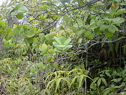 The branches of a young sandalwood tree found in Hawaii