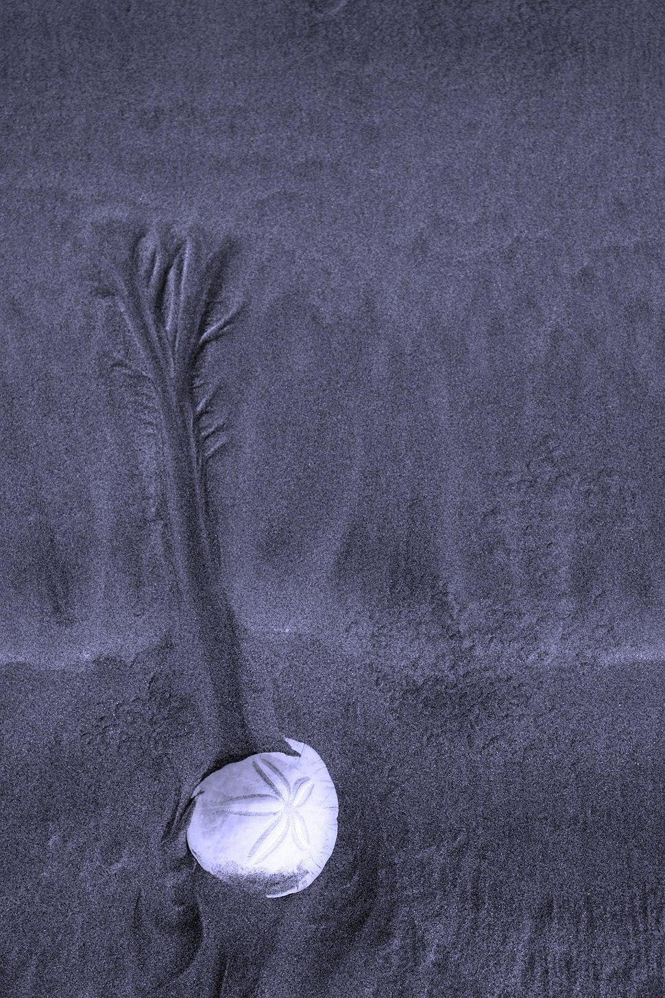 Sanddollaronbeachtofinokjfmartin