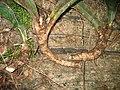 Sansevieria humiflora rhizomes (4523314906).jpg