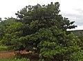 Sapota (manilkara zapota) at Kommadi.jpg