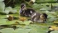 Saturday Ducks (48448599411).jpg