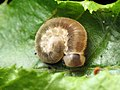 Sawfly Larva (42822132815).jpg