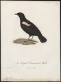 Saxicola nigra - 1796-1808 - Print - Iconographia Zoologica - Special Collections University of Amsterdam - UBA01 IZ16200346.tif