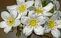 Saxifraga paniculata kds 01.jpg