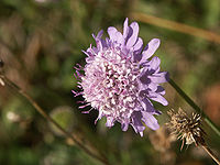 Scabiosa-columbaria 7208