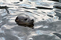 Scarborough Sea Life seal.jpg