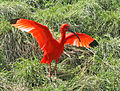 Scarlet Ibis SMTC.jpg