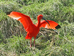 Scarlet Ibis (Eudocimus ruber) All Herons, Egrets, Storks and ...