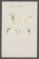 Scatopse - Print - Iconographia Zoologica - Special Collections University of Amsterdam - UBAINV0274 038 05 0007.tif