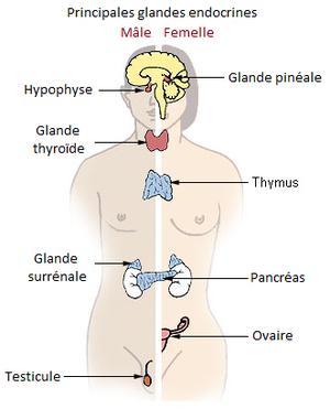 Glandes glandulaires du pénis