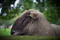 Schaf mit Stacheldraht und Bokeh.jpg