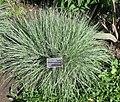 Schizachyrium scoparium - JBM.jpg