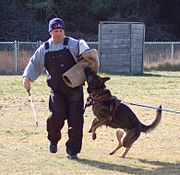A decoy works a German Shepherd during protection training.
