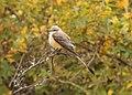 Scissor-tailed Flycatcher, 600 block of S. Lakeshore Dr., Ludington, MI, 16 October 2014 (15366512168).jpg