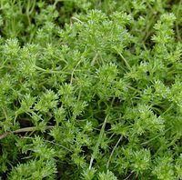 Scleranthus annuus IP0505052.jpg