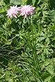 Scorzonera rosea (Rosen-Schwarzwurzel) IMG 9858.jpg