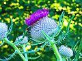 Scotland's National Flower - panoramio.jpg
