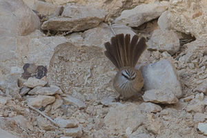 Streaked scrub warbler - Image: Scotocerca inquieta 2