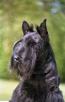 Scottish-terrier1.jpg