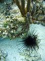 Sea Urchin off Florida coast 2007-08-06.JPG
