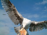 Gulls can be quite aggressive, taking food from a human's hand