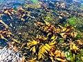 Seaweed - geograph.org.uk - 1012898.jpg